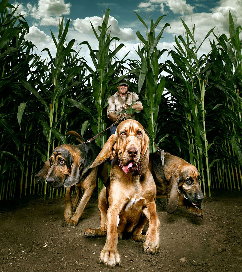 Bloodhound dogs in a corn field